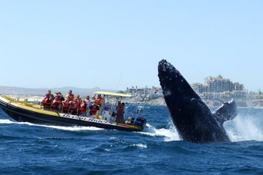 Whale Watching Trips Los Cabos