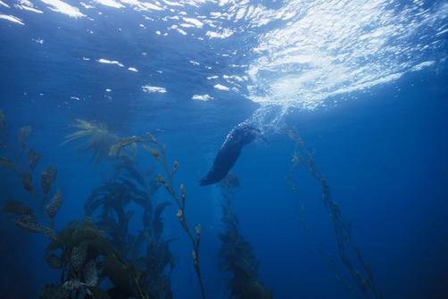 Sea Otter (Enhydra lutris) diving in kelp forest, Monterey Bay, California