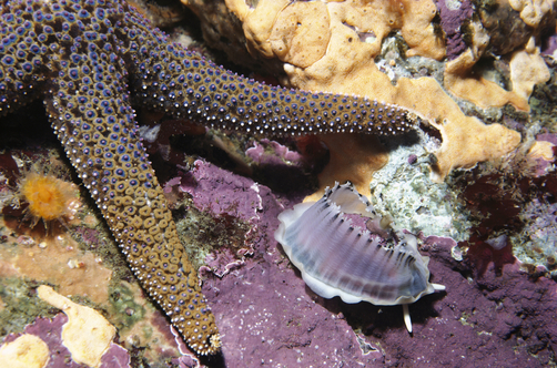 Limpet (Diodora aspera) escapes sucking arms of Starfish (Pisaster giganteus) by exuding slippery mantle, Monterey, California,