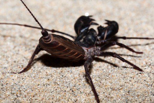 Vinegarroon. They are often called uropygids in the scientific community after the former order Uropygi. They are also known as whip scorpions because of their resemblance to true scorpions and because of their whiplike tails.""