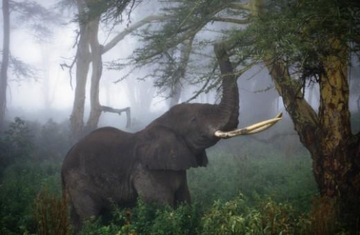 African elephant, Loxodonta africana, feeding on acacia tree, Acacia drepanolobium, Ngorongoro Crater, Tanzania