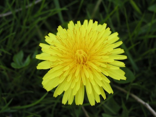 Dandelion flowers, they look innocent enough . . .