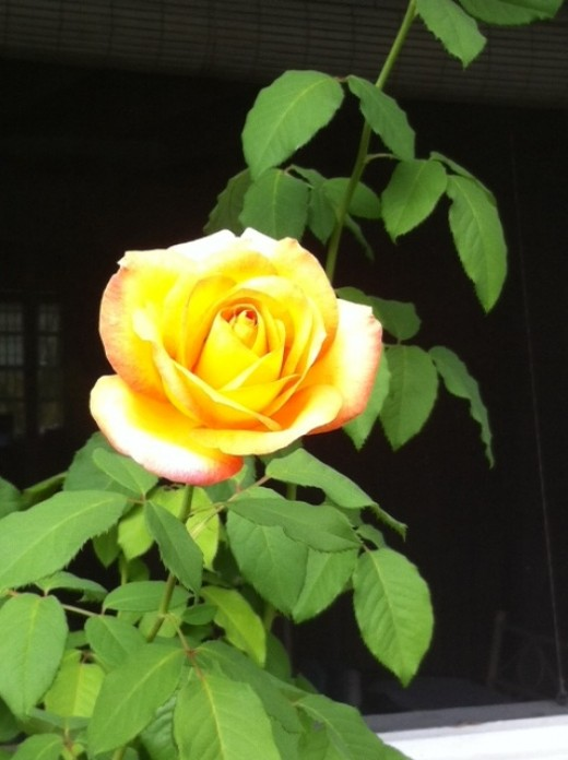 My Yellow Rose that has survived.