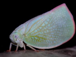 Leaf Hopper: the veining and coloration on its wings provide a very interesting display.