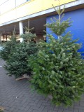 Choosing and Caring for your Christmas Tree