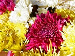 Chrysanthemums - Successful Chrysanthemum Growing