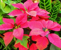 Poinsettia the best Christmas gift