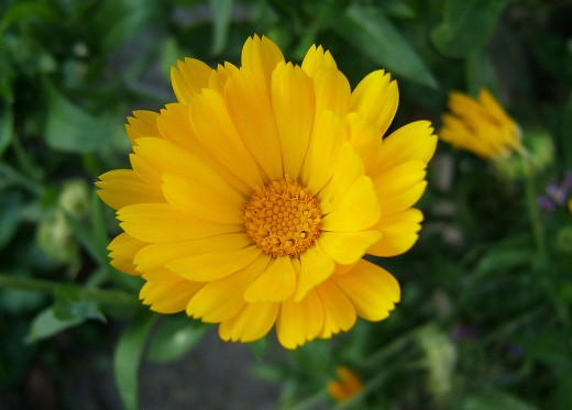 Calendula officinalis - Gentle and Powerful