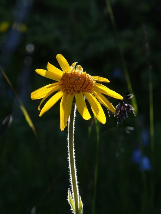Arnica montana - Irreplaceable, always reliable