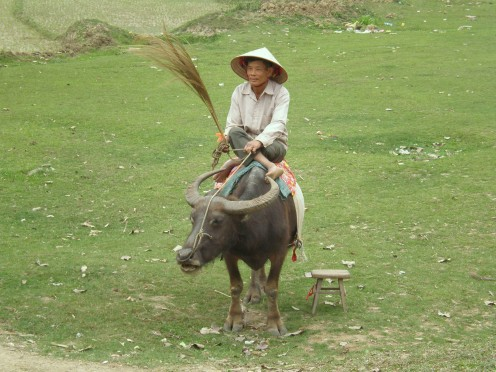 Vietnamese peasant sitting on a water buffalo. Fields of Vietnam near Tam Coc.