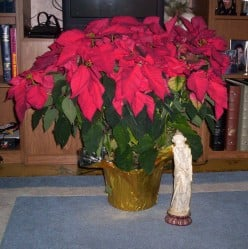 A Huge Poinsettia I Received Last Christmas Is Still Growing!