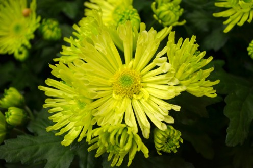 Green Chrysanthemums, I believe.