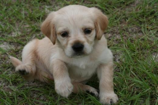 Sandy as a puppy. She was favoring a labrador retreiver when younger, but also began to develop traits of a cocker spaniel as she grew.