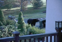 Black bears are constantly searching for food in garbage containers.