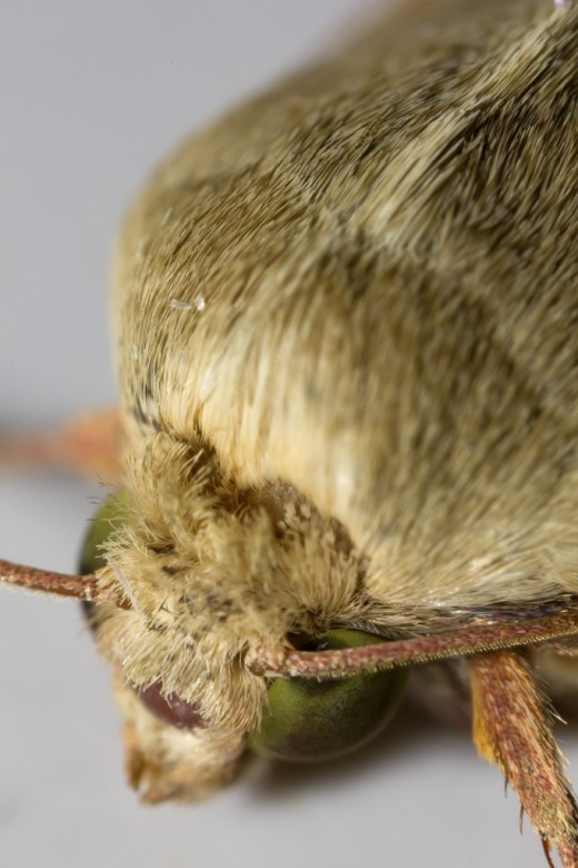 This macrophotographic image shows the small hairs on the antenna. Notice also the different types of hair on the legs.