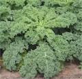 Brassica oleracea Varieties