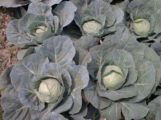 A cabbage patch.