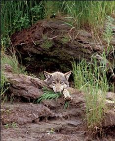 A wolf in its natural den.