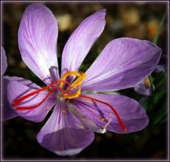 Medicinal Value and Other Uses of Saffron