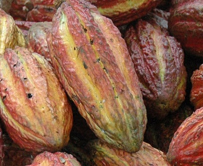 Inside these cacao fruits are beans where all chocolates come from.