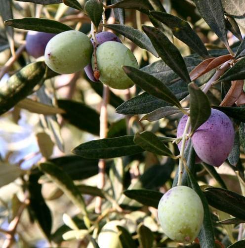 Olives from Jordan