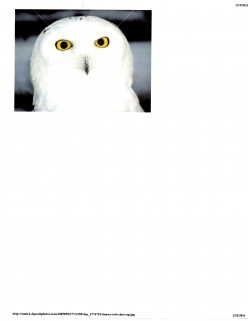 A Granddaughter's Snowy Owl (poem)