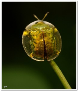 The macrophotographic image of this beetle is small. Consider the size of this drop of water. Click on image to see a larger image.