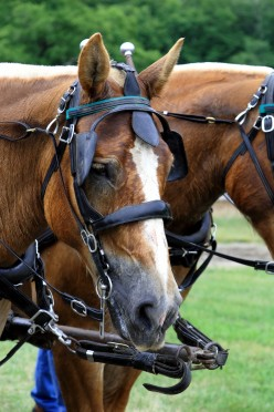 Draft Horses - Yesterday and Today