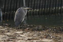 Grey Heron on Lake St Clair deedsphotos
