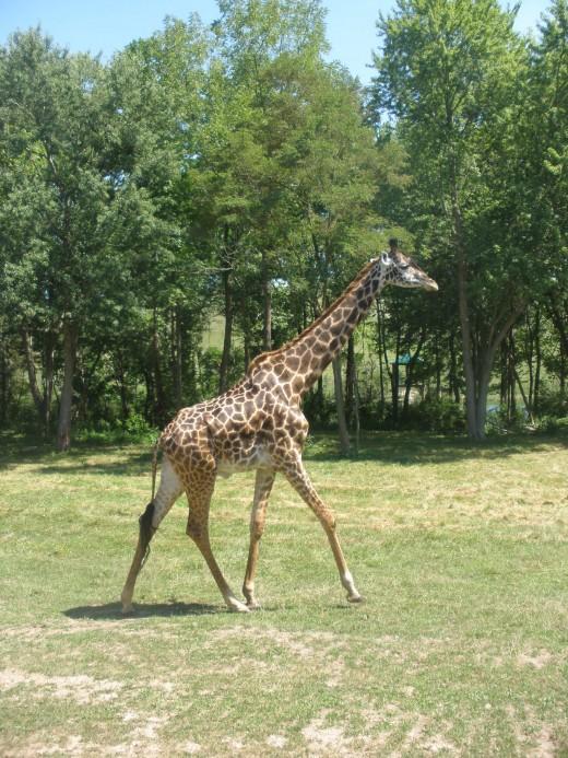 Giraffe at The Wilds in Cumberland, Ohio