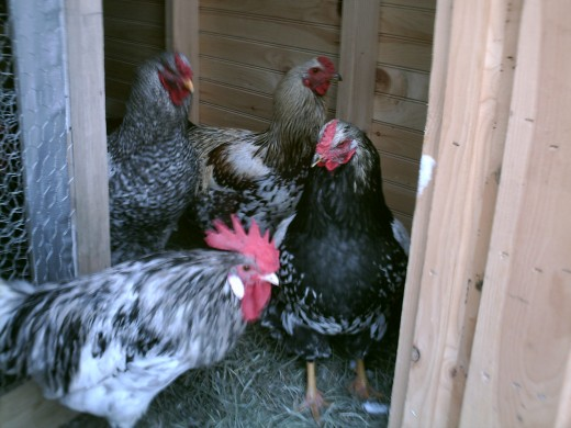 Nov 2011.  Roosters sneaking out of chicken's coop side.