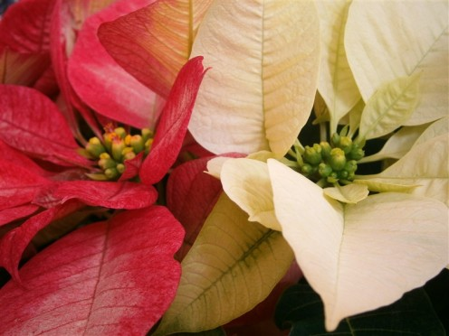 The festive colors are all in the leaves. A pot in the house will instantly kicks up the Christmas atmosphere.