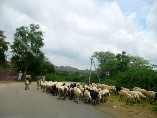 Sheep we encountered on the road and had to wait for them to pass