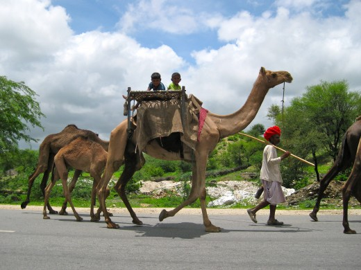 Another caravan of camels and this time with kids on top