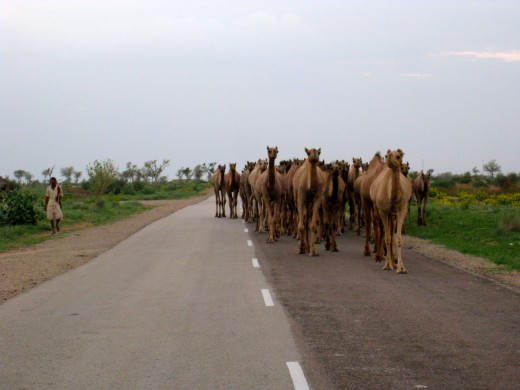 Wow hundreds of camels were coming our way!