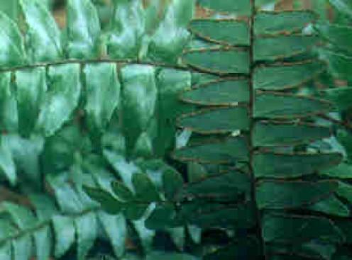 Adiantum latifolium, a fern species found in Udawattakele.