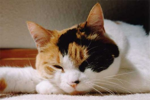 October 1, 2001, the calico cat became the official cat of the state of Maryland in the United States.