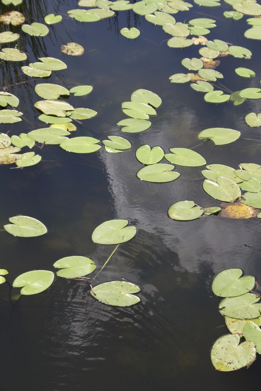 Closer shot of the lilly pads.  It amazes me how they just float on top of the water.