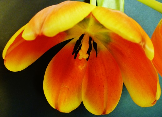 Close-up photo of tulip