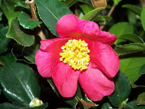 My camellia bush. I think it's a Camellia japonica.