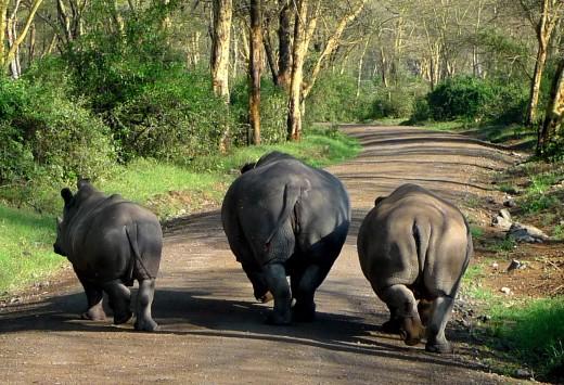 Rhinos, Nakura National Reserve, Kenya