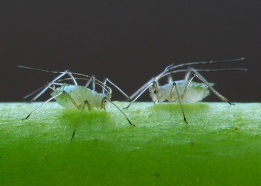 Two aphids up close.