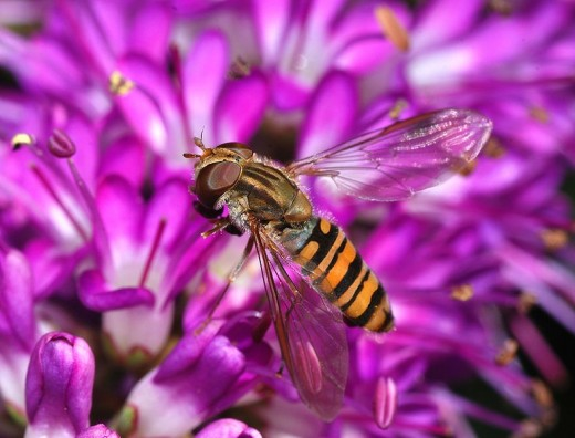 An adult hoverfly.