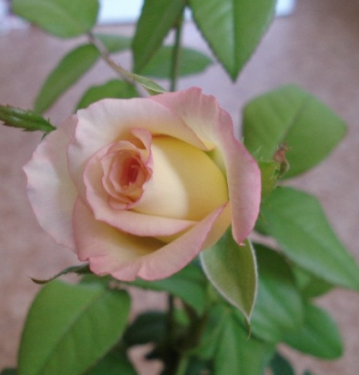 Look how the shoot has progressed, one of the rosebuds opened.