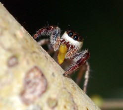 A Strange Spider, the Vegetarian Bagheera kiplingi