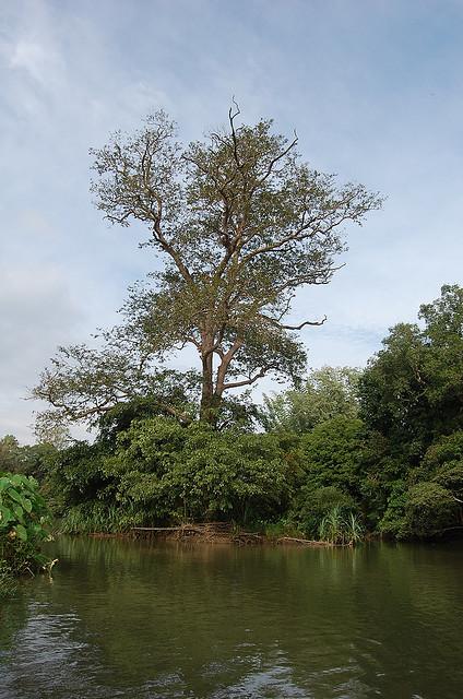 Arjun Tree (Terminalia arjuna)