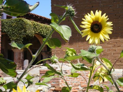 Sun flowers at the San Juan Capistrano Mission.