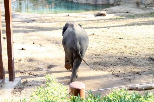 Baby elephant at Smithsonian National Zoo - Washington, D.C.