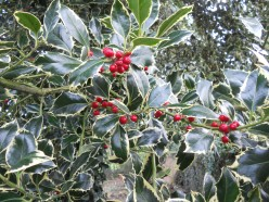 Greening your home at Christmas with holly, ivy, mistletoe and trees