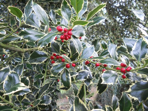 Holly (Ilex aquifolium), with variegated leaves makes a bright and colourful Christmas decoration